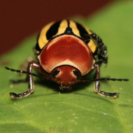 Leaf Beetle - Cryptocephalus calidus