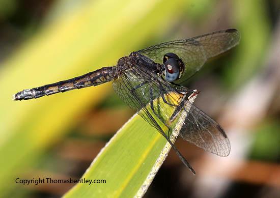 Dragonfly - Erythrodiplax minuscula - female