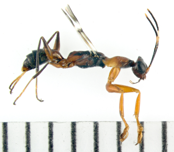 Dryinidae, lateral - Dryinus alatus