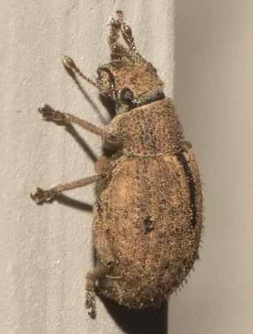 weevil? - Strophosoma melanogrammum