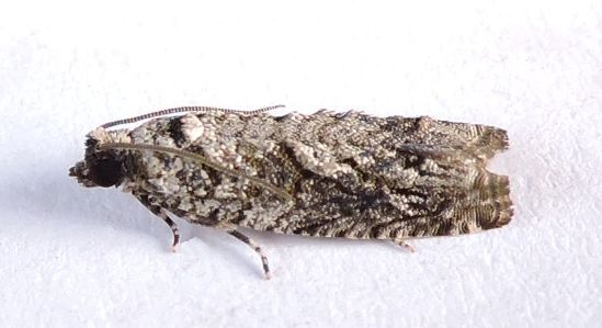 Pennsylvania Moth - Gretchena concubitana