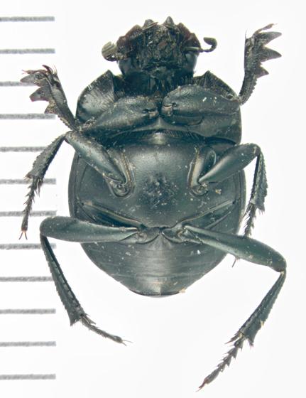 Scarabaeidae, ventral - Melanocanthon nigricornis