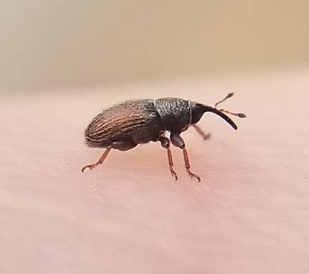 Tiny weevils - Mecinus pascuorum