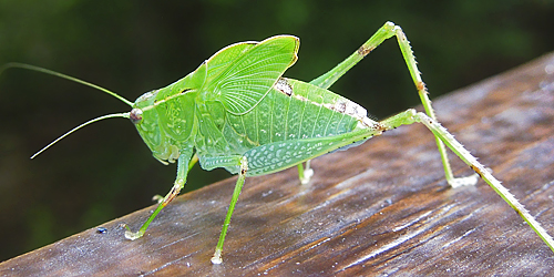 Katydid Nymph - Microcentrum