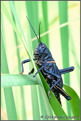 Black Grasshopper - Romalea microptera - female