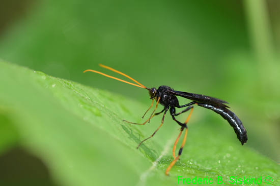 Wasp - Therion morio?? - Therion morio