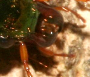 Carabidae, fuzzy mandibles - Chlaenius tricolor
