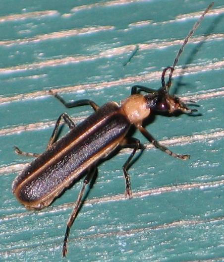long skinny beetle - Podabrus flavicollis