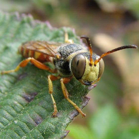 Crabronid - Cerceris bicornuta - male