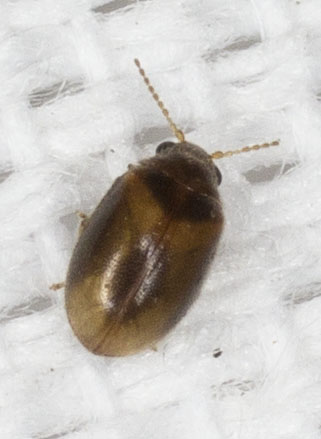 Very Small Beetle  - Contacyphon