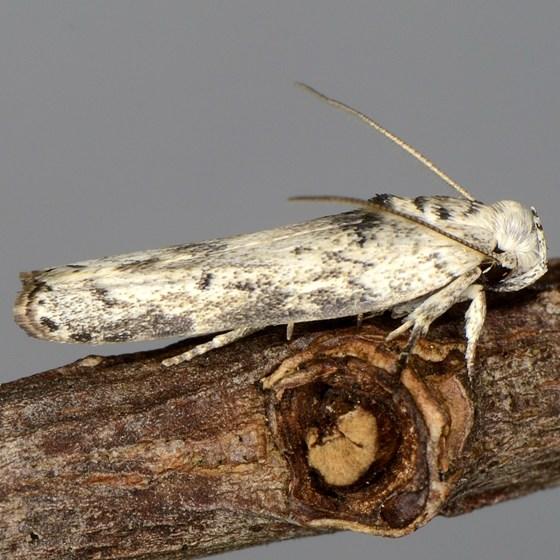 Menestomorpha kimballi