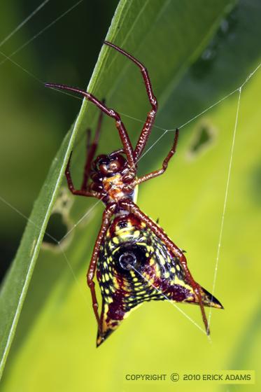 Micrathena - Micrathena sagittata - female