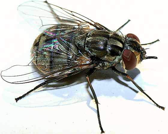 Stable Fly - Data point for California - Stomoxys calcitrans