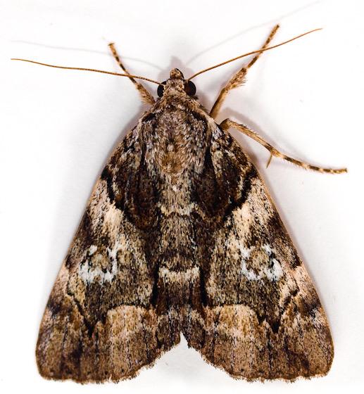 Moth to porch light  - Catocala pretiosa