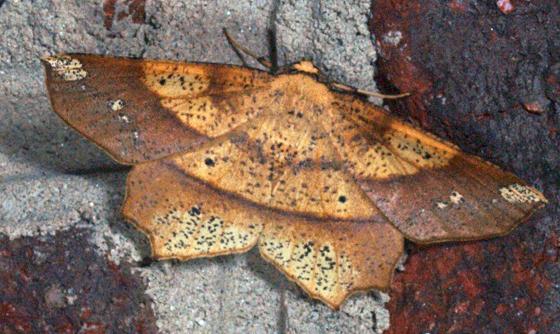 Deep Yellow Euchlaena - Hodges#6733  - Euchlaena amoenaria