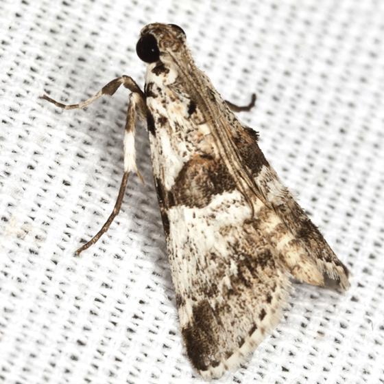 Watson's Tallula Moth - Hodges#5592 - Tallula atrifascialis