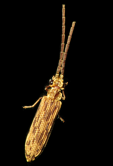 Cool Beetle! - Tenomerga cinerea