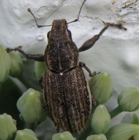 Weevil - Naupactus leucoloma