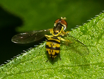 Unknown Syrphidae? - Toxomerus geminatus