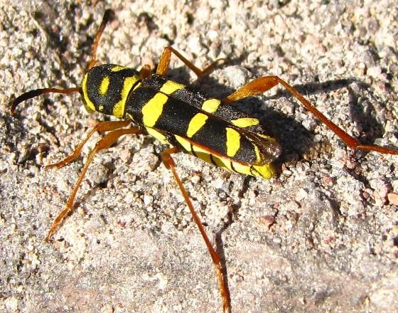 borer beetle - Neoclytus balteatus - female