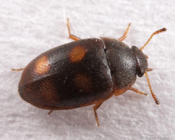 beetle from inside gall - Litargus tetraspilotus