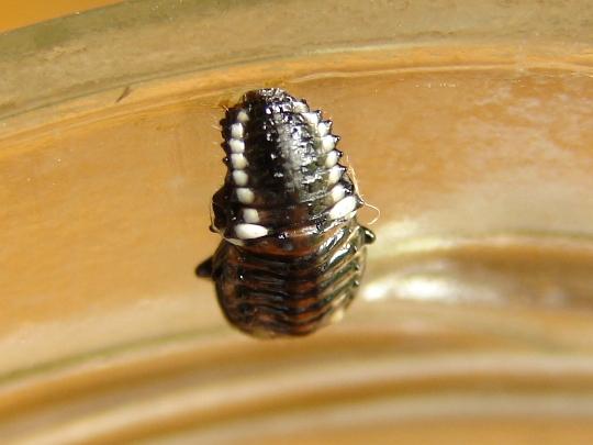 Willow leaf larva - Chrysomela knabi