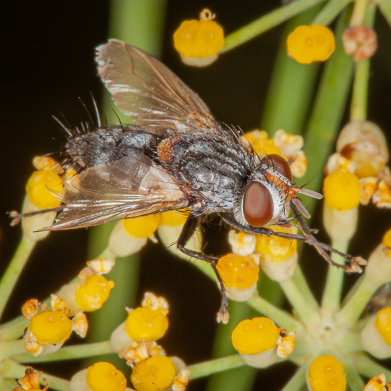 Tachinid Fly? - Chetogena