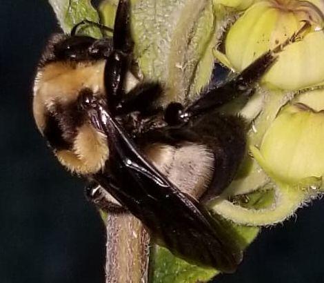 Bombus fraternus on Asclepias tomentosa - Bombus fraternus