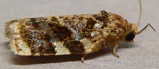 Micro moth - Archips argyrospila