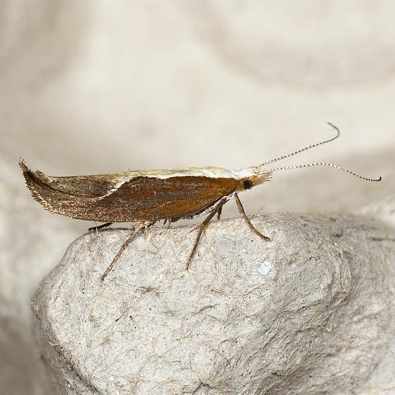 Honeysuckle Moth - Hodges#2375 - Ypsolopha dentella