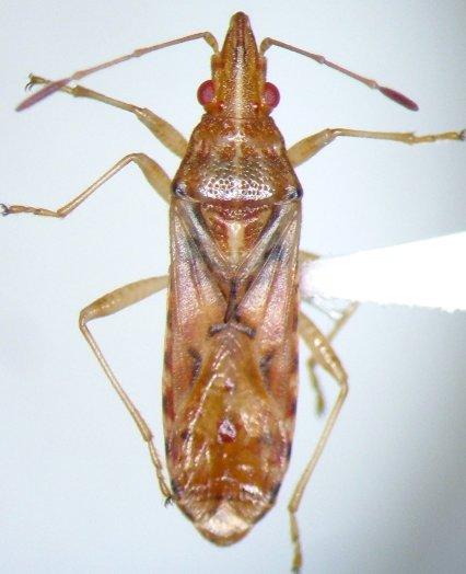 Belonochilus numenius? - Belonochilus numenius
