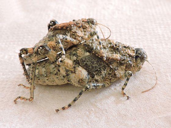 Arizona Grasshoppers - Phrynotettix tshivavensis - male - female