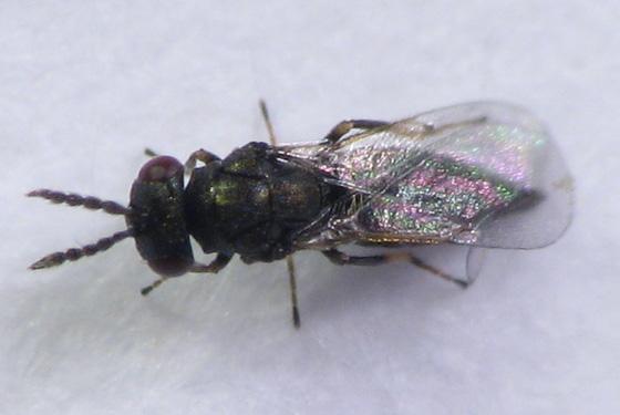 Goldenrod gall fauna, an adult - female