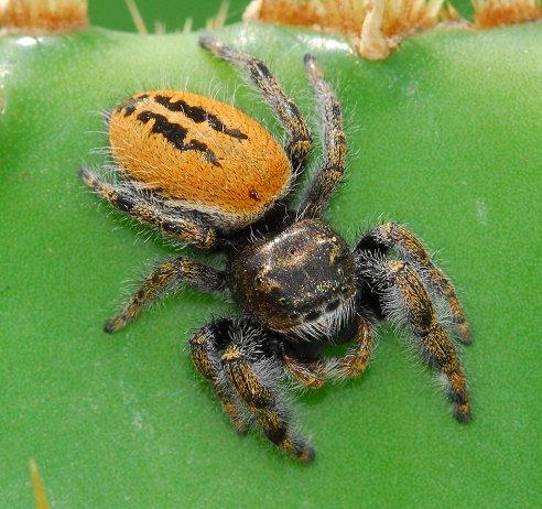 Phidippus sp jumper - Phidippus texanus - male