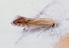 Phyllonorycter basistrigella 0738 - Phyllonorycter basistrigella