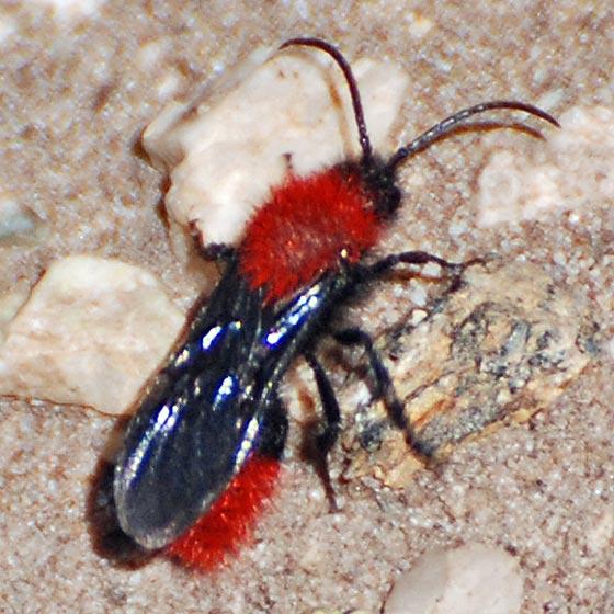 Mutillidae (velvet ant) male - Dasymutilla vestita - male