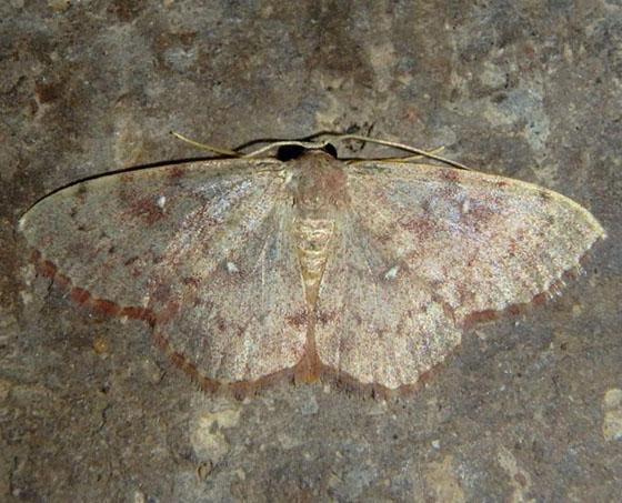 Geometrid - Semaeopus gracilata