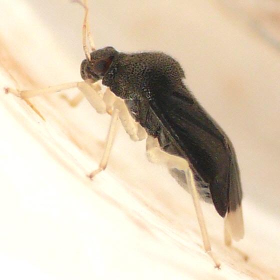 Sixeonotus albicornis - Sixeonotus insignis