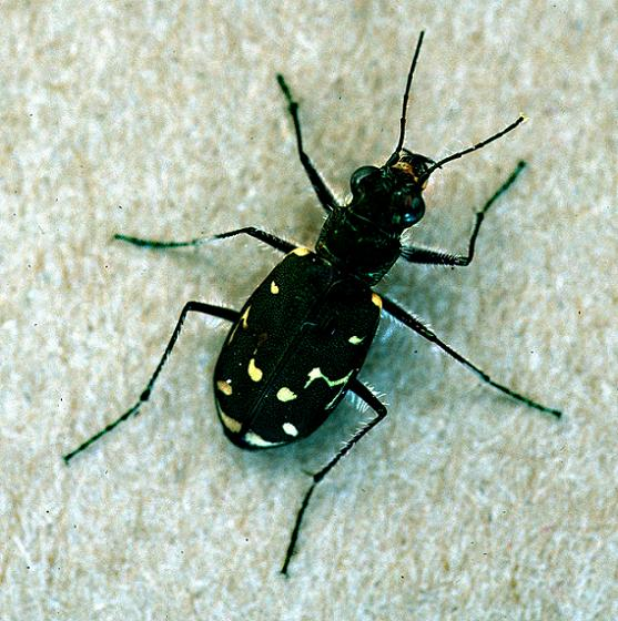 Twelve-Spotted Brown Tiger Beetle - Cicindela duodecimguttata