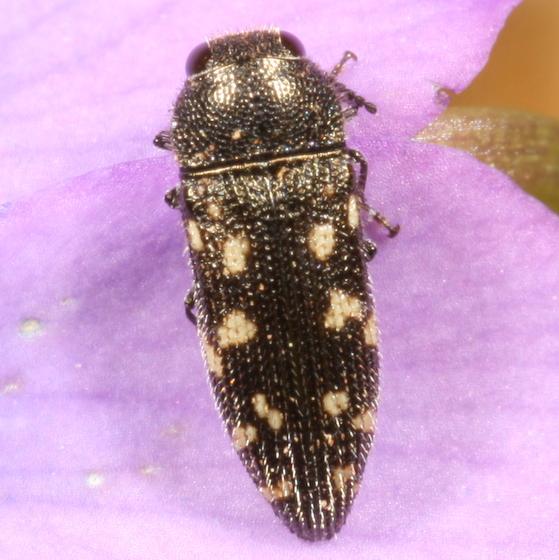 Acmaeodera - Acmaeodera tubulus