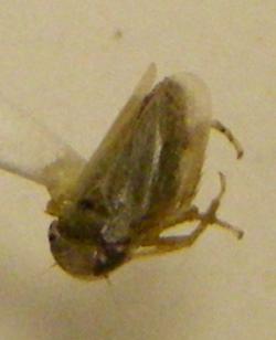 California Coastal Dune Homopteran - Gloridonus vescus