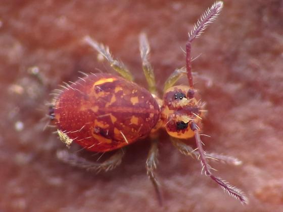 Springtail - Dicyrtoma