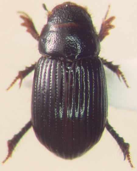 Aegialia opifex
