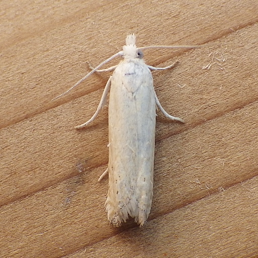 Tortricidae: Eucosma agricolana - Pelochrista argentialbana