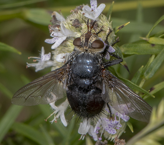 Tachinidae ID request - Archytas metallicus