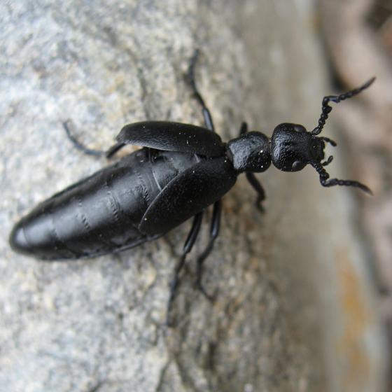 Black Beetle - Meloe