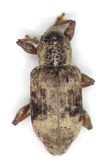 Listronotus delumbis - male
