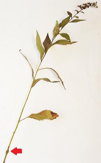 Cecidomyiidae, Solidago ulmifolia - Asteromyia tumifica