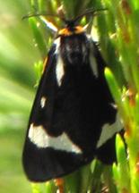 Wood Tiger Moth - Arctia plantaginis