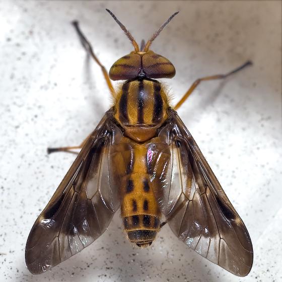 Deer Fly - Chrysops vittatus - male